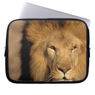 Africa, Kenya, Masai Mara. Lion male (Panthera Computer Sleeve