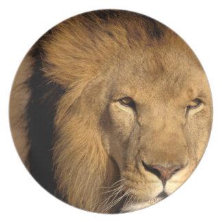 Africa, Kenya, Masai Mara. Lion male (Panthera Dinner Plate