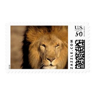 Africa, Kenya, Masai Mara. Lion male (Panthera Postage