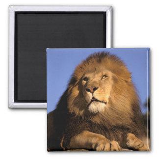Africa, Kenya, Masai Mara. Male lion (Panthera 2 Inch Square Magnet