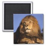 Africa, Kenya, Masai Mara. Male lion (Panthera Refrigerator Magnet