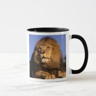 Africa, Kenya, Masai Mara. Male lion (Panthera Mug