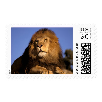 Africa, Kenya, Masai Mara. Male lion (Panthera Postage
