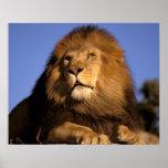 Africa, Kenya, Masai Mara. Male lion (Panthera Poster