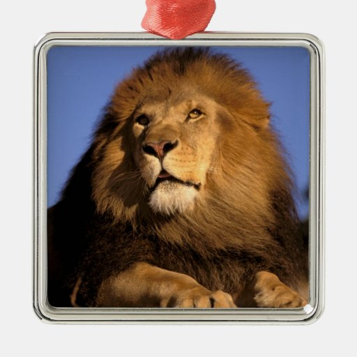 Africa, Kenya, Masai Mara. Male lion (Panthera Square Metal Christmas Ornament