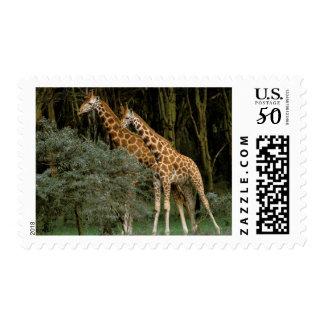 Africa, Kenya, Masai Mara. Masai giraffe Postage