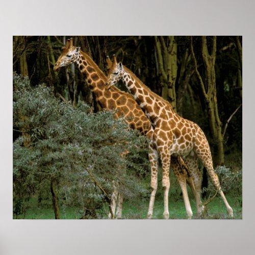 Africa Kenya Masai Mara Masai giraffe Poster
