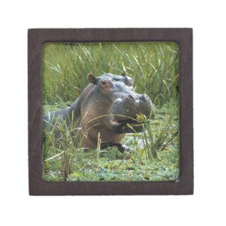 Africa, Kenya, Masai Mara NR. A mother hippo and Keepsake Box