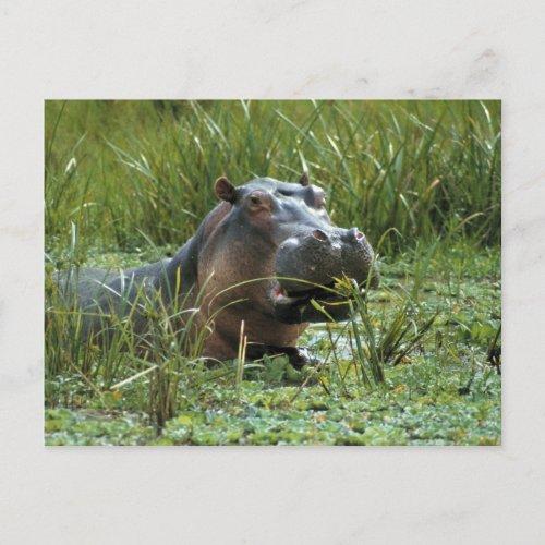 Africa Kenya Masai Mara NR A mother hippo and Postcard