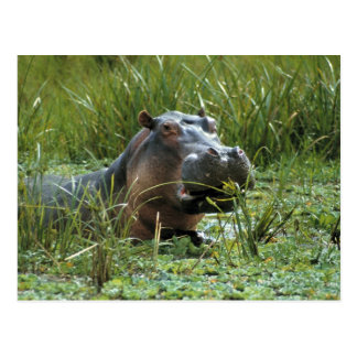 Africa, Kenya, Masai Mara NR. A mother hippo and Postcard