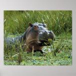 Africa, Kenya, Masai Mara NR. A mother hippo and Print