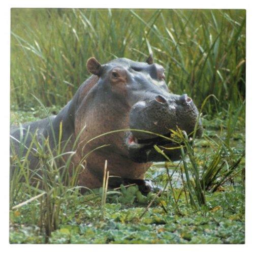 Africa Kenya Masai Mara NR A mother hippo and Tile
