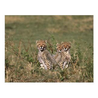 Africa; Kenya; Masai Mara; Three cheetah cubs Postcards