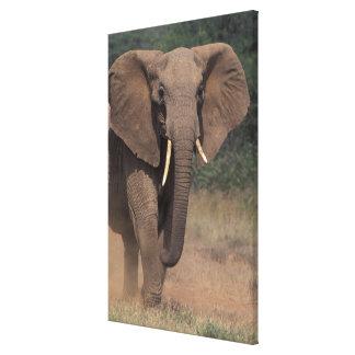 Africa, Kenya, Nanyuki, Mpala. African Elephant. Canvas Print