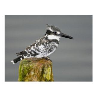 Africa. Kenya. Pied Kingfisher at Lake Naivasha. Postcard