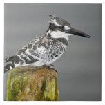 Africa. Kenya. Pied Kingfisher at Lake Naivasha. Tile