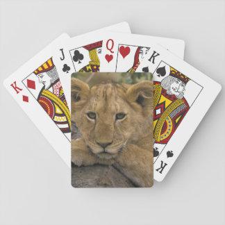 Africa, Kenya. Portrait of a lion. Card Deck