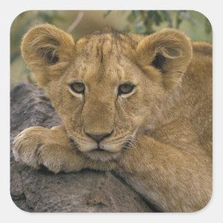 Africa, Kenya. Portrait of a lion. Square Sticker