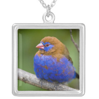 Africa. Kenya. Purple Grenadier male at Lake Silver Plated Necklace