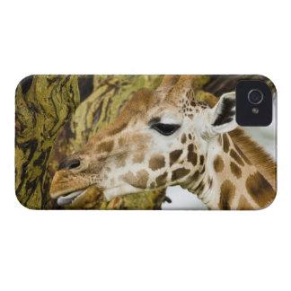 Africa Kenya Rothschild s Giraffe at Lake 3 Blackberry Cases