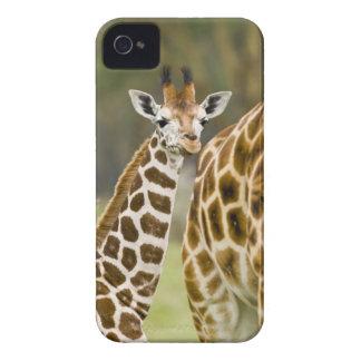 Africa Kenya Rothschild s Giraffe baby with 2 Blackberry Cases