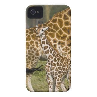 Africa Kenya Rothschild s Giraffe baby with Case-Mate Blackberry Case
