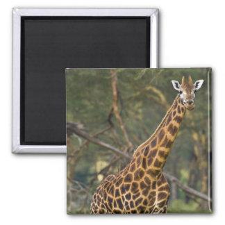 Africa. Kenya. Rothschild's Giraffe at Lake 2 2 Inch Square Magnet