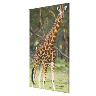 Africa. Kenya. Rothschild's Giraffe at Lake 2 Canvas Print