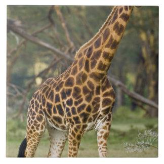 Africa. Kenya. Rothschild's Giraffe at Lake 2 Ceramic Tile