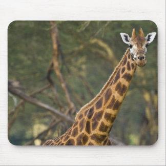Africa. Kenya. Rothschild's Giraffe at Lake 2 Mouse Pad