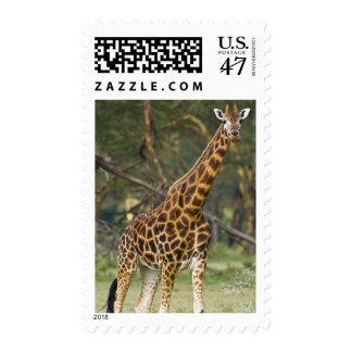 Africa. Kenya. Rothschild's Giraffe at Lake 2 Postage