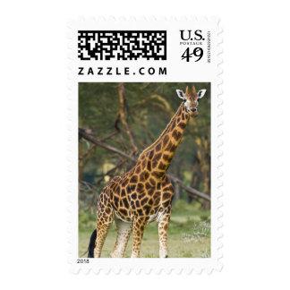 Africa. Kenya. Rothschild's Giraffe at Lake 2 Stamp