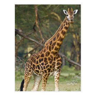 Africa. Kenya. Rothschild's Giraffe at Lake 2 Postcard