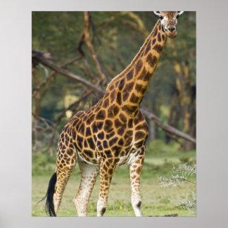 Africa. Kenya. Rothschild's Giraffe at Lake 2 Poster