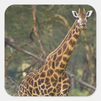 Africa. Kenya. Rothschild's Giraffe at Lake 2 Square Sticker