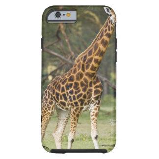 Africa. Kenya. Rothschild's Giraffe at Lake 2 Tough iPhone 6 Case