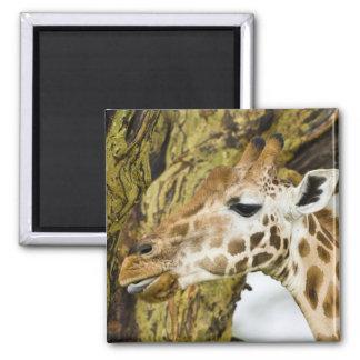 Africa. Kenya. Rothschild's Giraffe at Lake 3 2 Inch Square Magnet