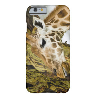 Africa. Kenya. Rothschild's Giraffe at Lake 3 Barely There iPhone 6 Case