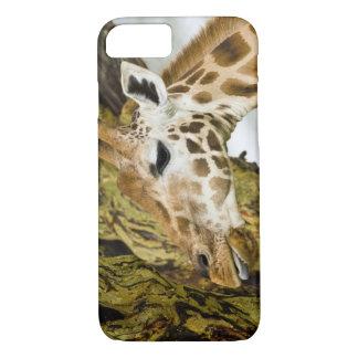 Africa. Kenya. Rothschild's Giraffe at Lake 3 iPhone 7 Case