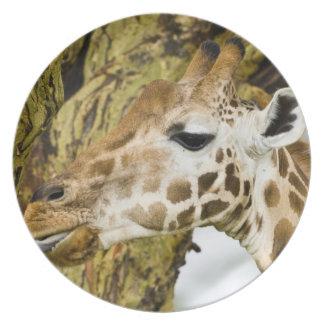 Africa. Kenya. Rothschild's Giraffe at Lake 3 Melamine Plate