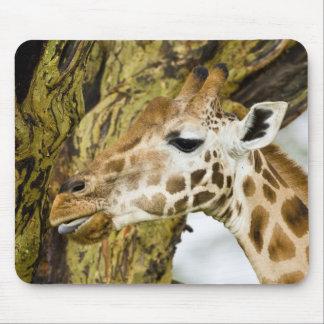Africa. Kenya. Rothschild's Giraffe at Lake 3 Mouse Pad