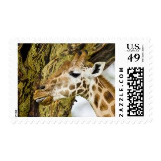 Africa. Kenya. Rothschild's Giraffe at Lake 3 Postage