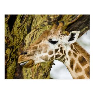 Africa. Kenya. Rothschild's Giraffe at Lake 3 Postcard