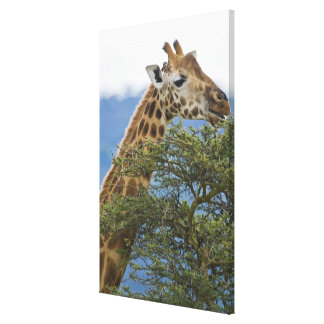 Africa. Kenya. Rothschild's Giraffe at Lake Stretched Canvas Print