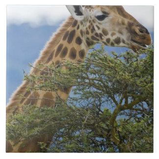 Africa. Kenya. Rothschild's Giraffe at Lake Large Square Tile