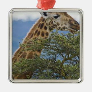 Africa. Kenya. Rothschild's Giraffe at Lake Metal Ornament