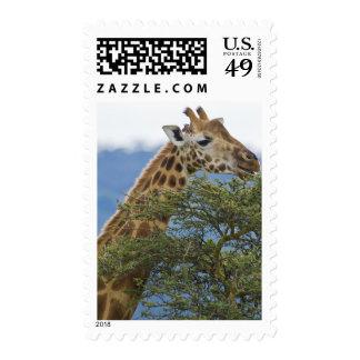 Africa. Kenya. Rothschild's Giraffe at Lake Stamp
