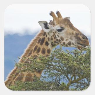 Africa. Kenya. Rothschild's Giraffe at Lake Square Sticker