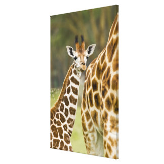 Africa. Kenya. Rothschild's Giraffe baby with 2 Canvas Prints