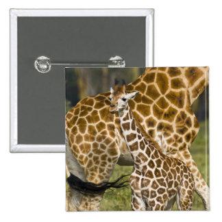 Africa. Kenya. Rothschild's Giraffe baby with 2 Inch Square Button